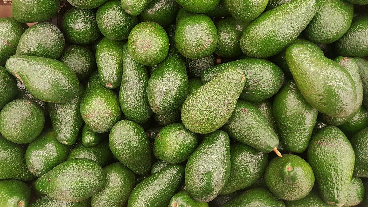 cultivo do abacate em Portugal